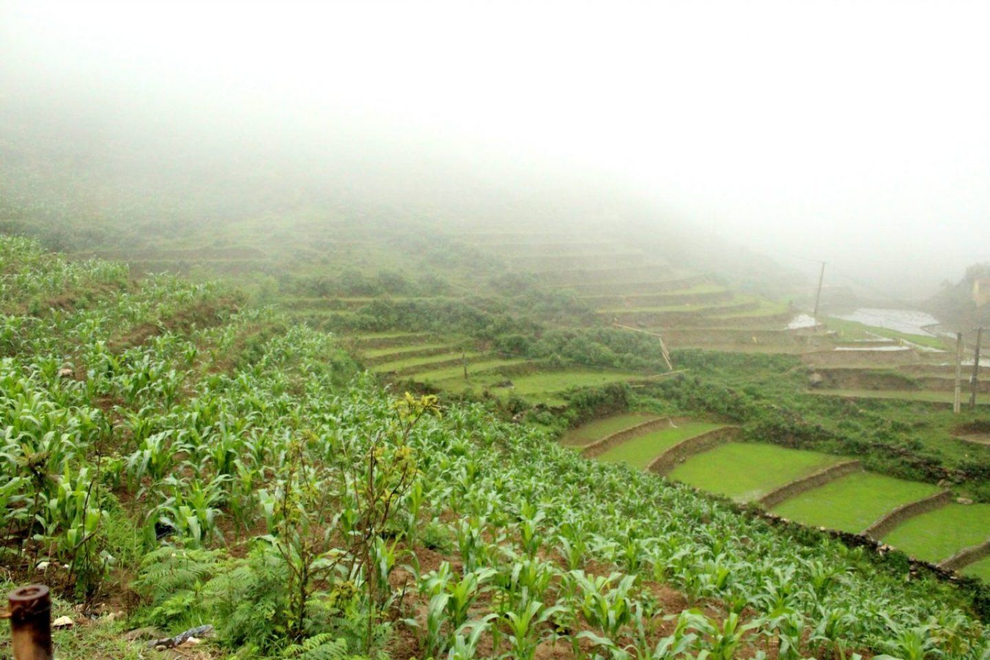 Rice fileds in the fog