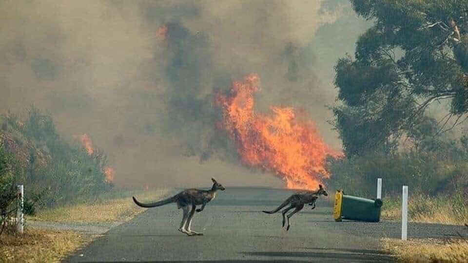 incendi koala canguri australia