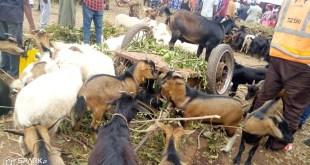 Un troupeau de moutons et de chèvres