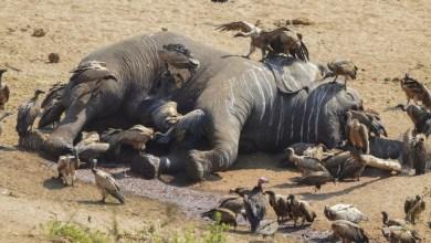 Un éléphant tué par des braconniers