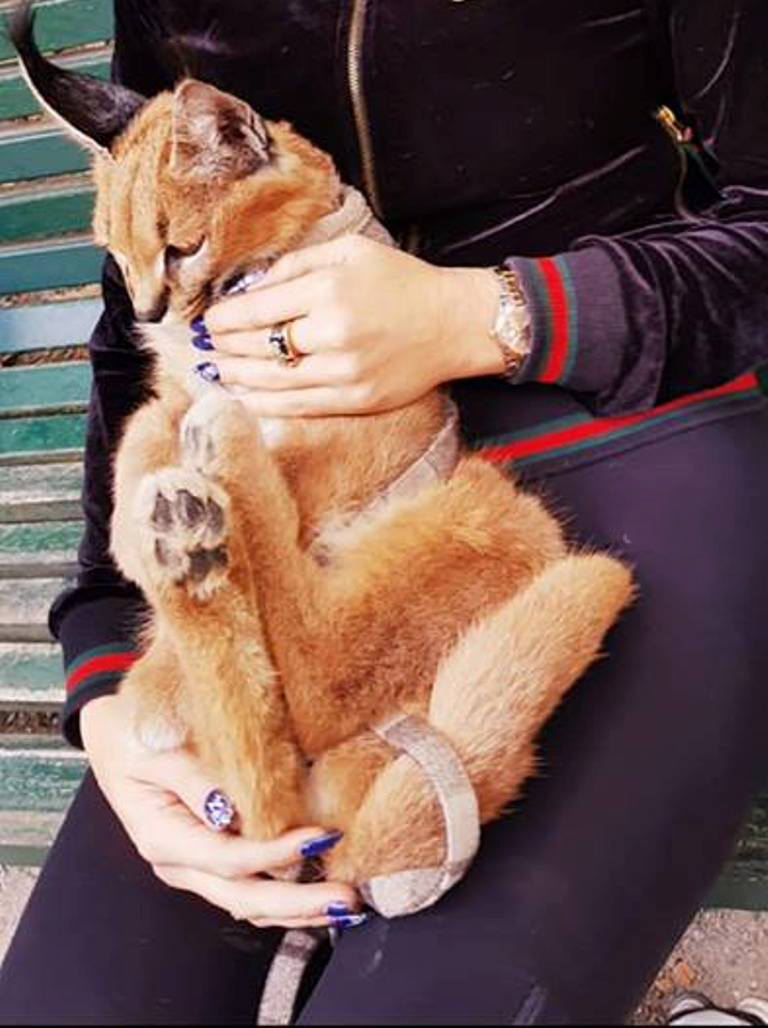 caracal gatto
