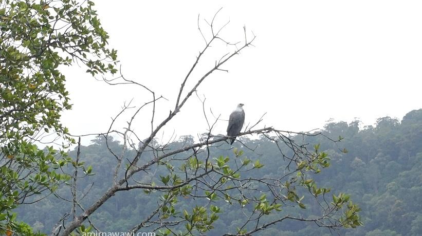 Eagle at Kubang Badak Geotrail.