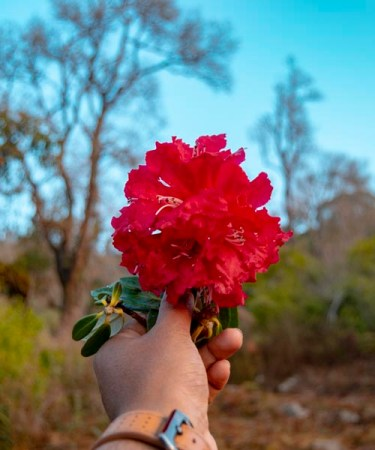 national-flower-Nepal-rhododendron