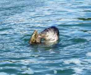 Baignade dans le Golfe du Morbihan