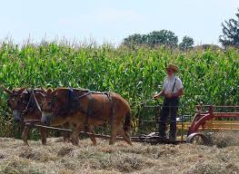 Amish farmer in field