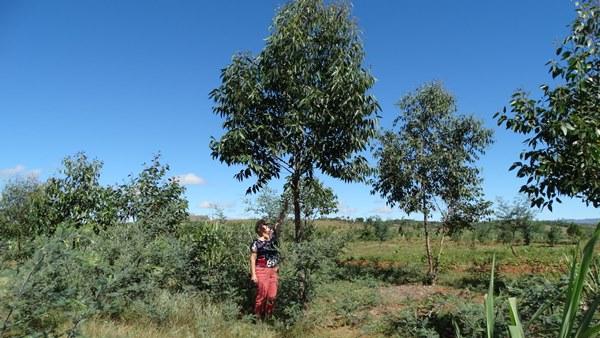 Eucalyptus en avril 2019