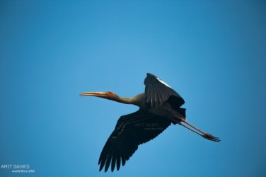 02-the-painted-stork