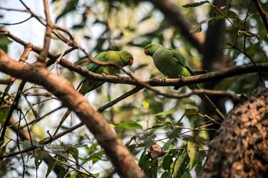 07-twin-parrots