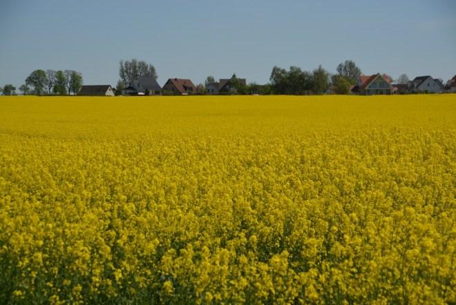 Meck-Pom ist vorwiegend gelb - Rapsfelder, riesengroß