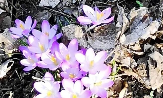 Frühlingsvorboten - Krokusse