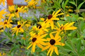 Sweet susans are abundant in Jim and Gloria Maener's front lawn.