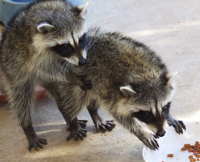 Fighting for the Food Raccons