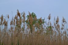 Phragmites australis (common reed)