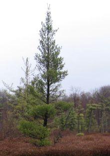 Pinus strobus (white pine)