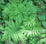 Onoclea sensibilis (sensitive fern)
