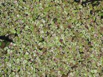 Lemna minor (lesser duckweed) and Spirodela polyrhiza (greater duckweed)