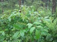 Toxicodendron vernix (poison sumac)