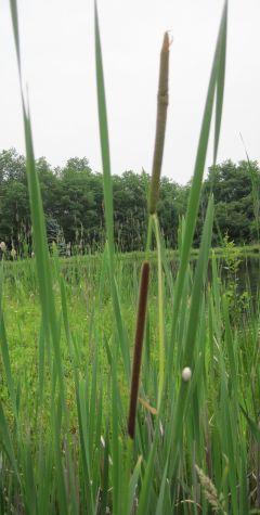 Typha angustifolia (narrow-leaf cattail)