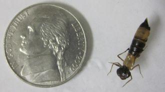 Anax junius larva (common green darner)