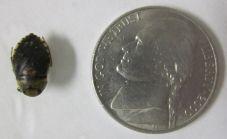 Naucoridae (creeping water bug)