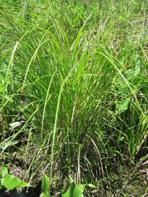 Carex stricta (tussock sedge)