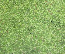 Greater duckweed, lesser duckweed, and Wolffia.