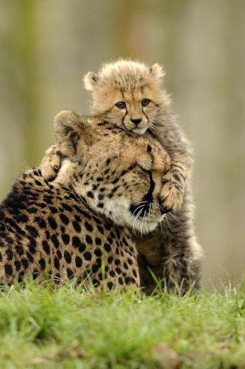 cheetah-bebe