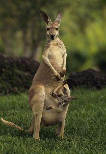 Canguro y bebé
