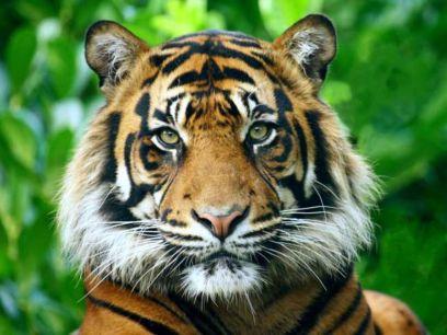 Hermoso-tigre