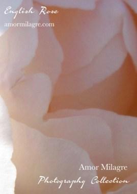 English Rose Photography Art Print Amor Milagre amormilagre.com 1