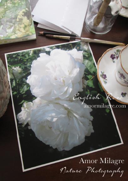 White English Rose Nature Photography Art Print Greeting Card Amor Milagre 1 amormilagre.com