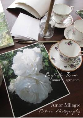 White English Rose Nature Photography Art Print Greeting Card Amor Milagre 2 amormilagre.com