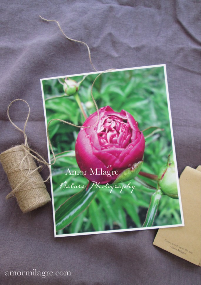 Amor Milagre Magenta Peony Flower Bud nature photography amormilagre.com
