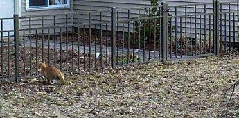 neighbour's ginger cat, 6 a.m., 24 April 2014