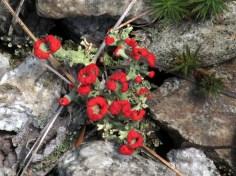 Cladonia cristatella (British Soldiers) lichen