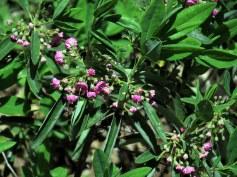 Kalmia angustifolia (sheep laurel) in bloom