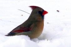 female cardinal, 17 Feb 2015