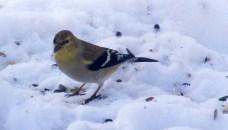 goldfinch, 29 Jan 2015