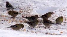 six goldfinch, a redpoll, a pine siskin, 17 Feb 2015