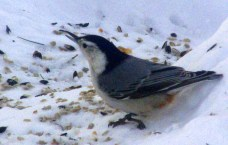 white-breasted nuthatch, 16 Feb 2015