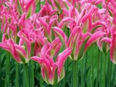 pinkandgreentulipsclose2may2011