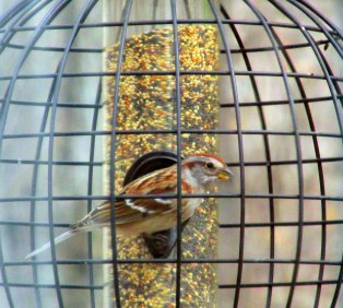 Americantreesparrowfinchfeeder26April2015