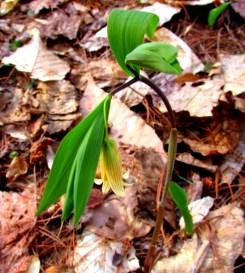 Uvularia sessilifolia (bellwort), 6 May 2015