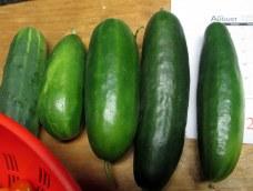 cucumberharvest10Aug2015