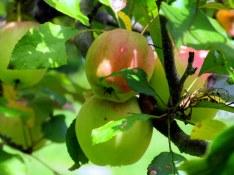 apples, Aug. 2014