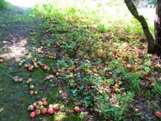 applesundertreeKHNP19Sept2015
