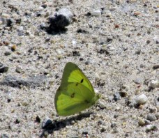 (Colias philodice) clouded sulphur butterfly, 1 Sept 2014