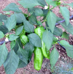 greenhouse peppers, Aug. 2014