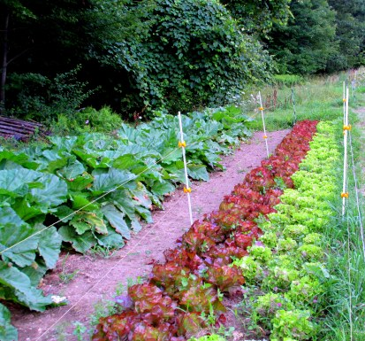 lettuces and rhubarb, Aug. 2014