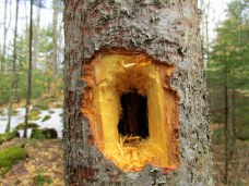 pileatedwoodpeckerholeintreeKHNP18April2015